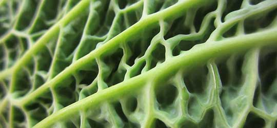 Cabbage Macro by Danny Nicholson